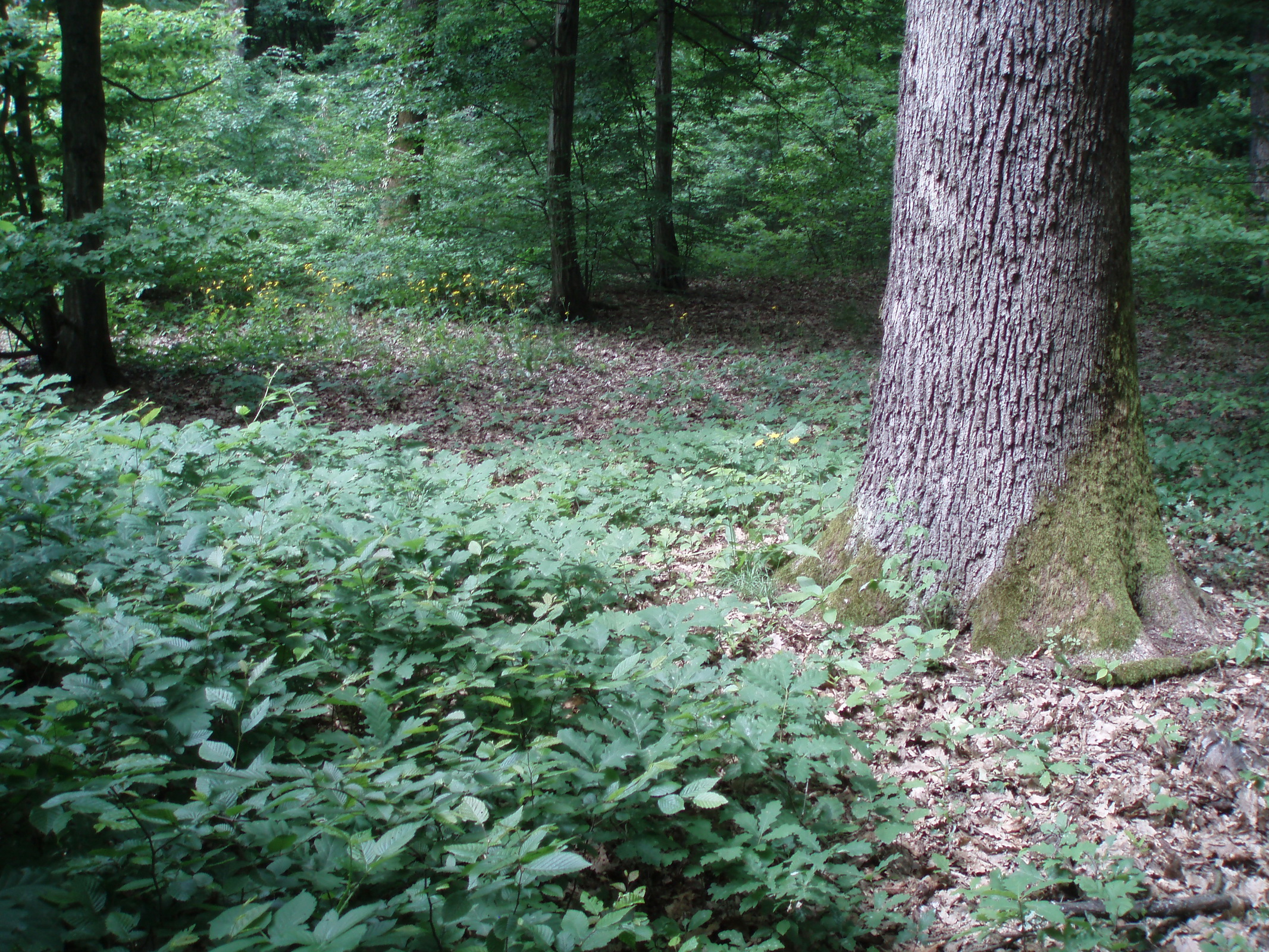 The park-forest of Maksimir, Natural regeneration of Pedunculate oak stand using the irregular shelterwood method (C) Anic