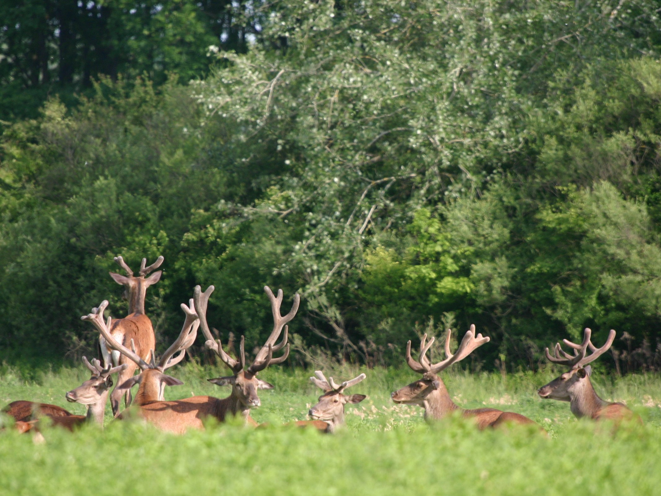 By the river of Danube, Red deer in floodplain forest, stags in velvet (C) Vrataric