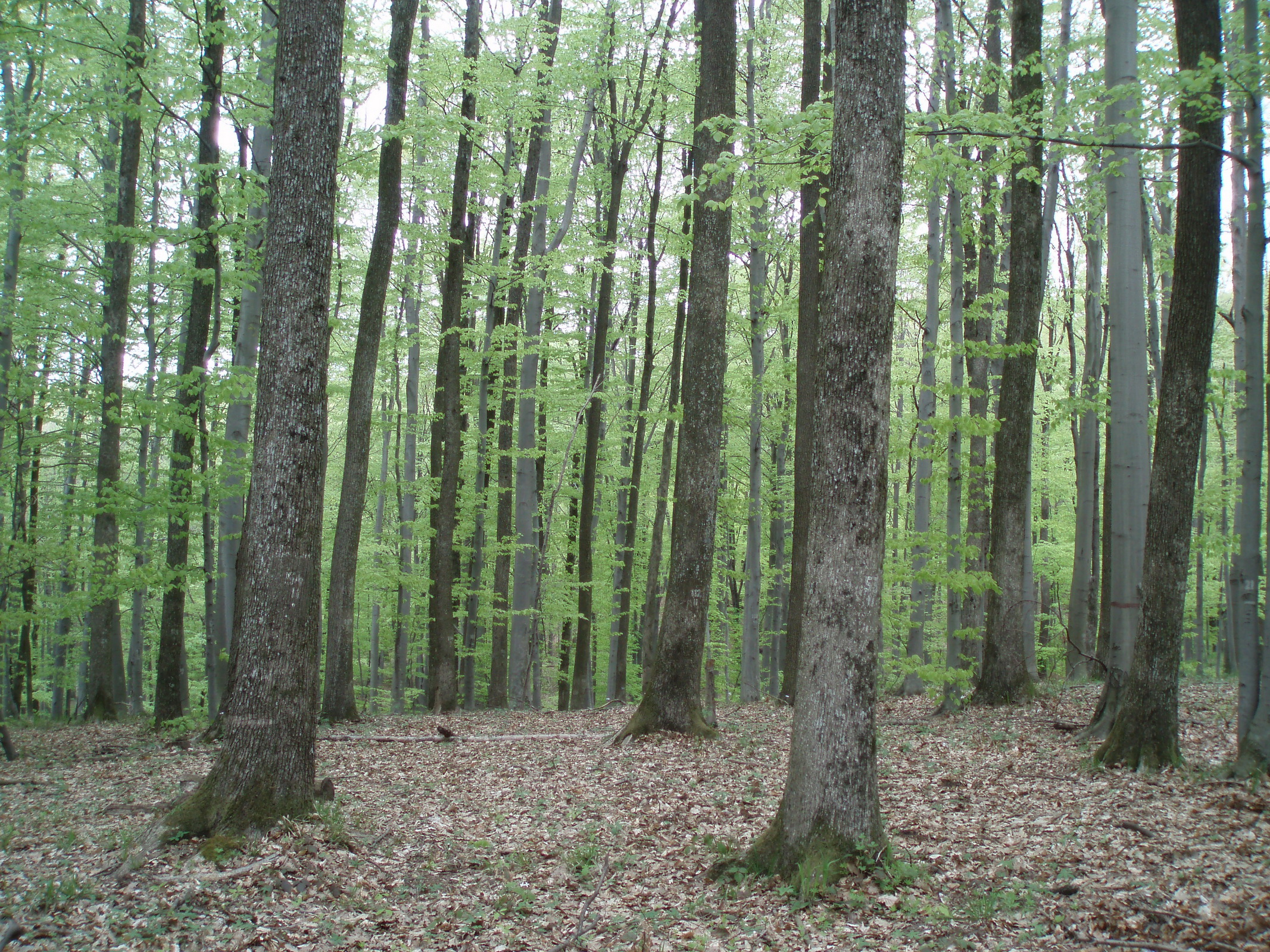 Kalnik forest, 40-years old experimental plot in the Sessile oak-Beech stand, structured using the original thinning method (C) Anic