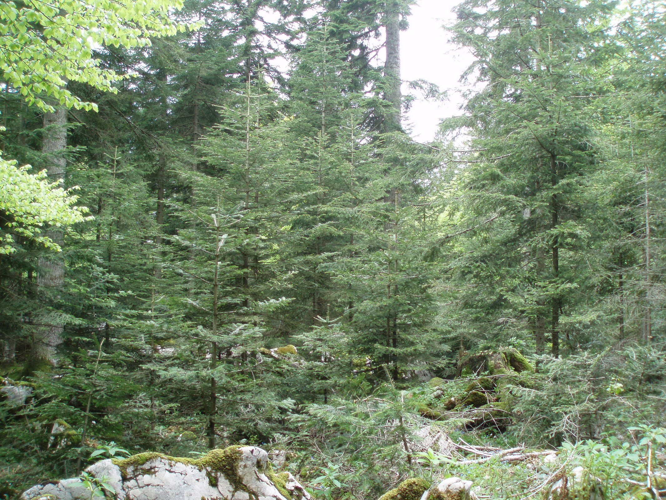 Region of Gorski kotar, Natural regeneration of Silver fir after single-tree selection cutting (C) Anic